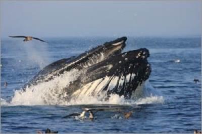 A humpback whale feeds in Stellwagen Bank National Marine Sanctuary: Photo credit NOAA