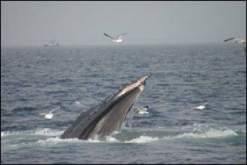 Humpback with scraped nostril from bottom-feeding: Photo credit NOAA