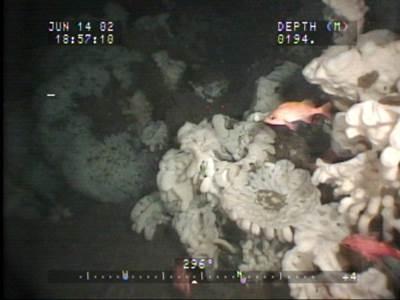 Glass Sponge reef: Photo credit Dr. Kim Conway/Canadian Govt.