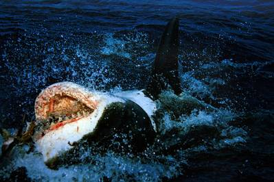 Great White: Photo Wiki CCL