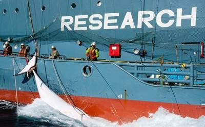 A Japanese whaling fleet's harpoon vessel with a slaughtered minke whale in Mackenzie Bay (photo: Glenn Lockitch/ Sea Shepherd Australia)