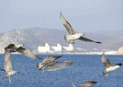 Black Sea birds near pipeline route:Image courtesy of South Stream