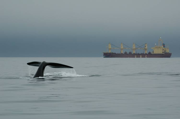 """""""Since implementation of mandatory seasonal speed restrictions along the U.S. east coast in 2008, the number of vessel struck right whales like this one has been dramatically reduced."""""""