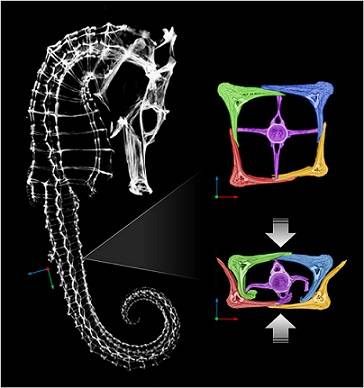Seahorses get their exceptional flexibility from the structure of their bony plates, which form its armor. The plates slide past each other. Here the seahorse's skeleton, as well as the bony plates, are shown though a micro CT-scan of the animal.