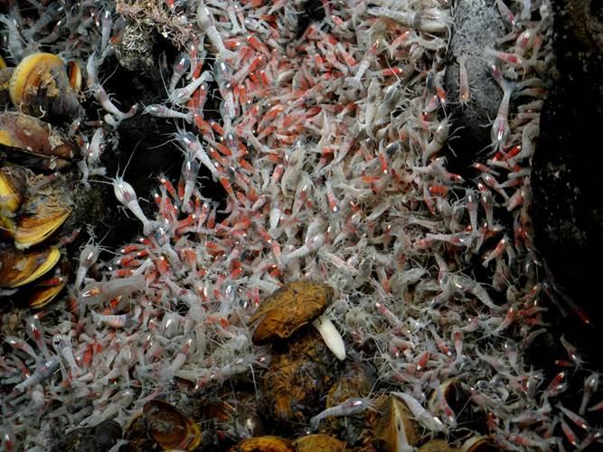 Copyright: Victor 6000 / Ifremer. Deep sea shrimps Rimicaris exoculata, living close to the hydrothermal vents, at 3,600m depths.