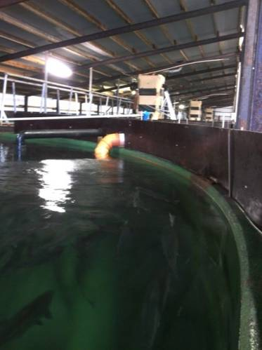 One of the many tanks where salmon are bred at Stofnfiskur